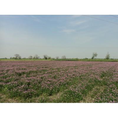 紫云英種子