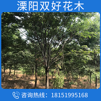 櫸樹苗圃防護樹品種齊全量大優惠
