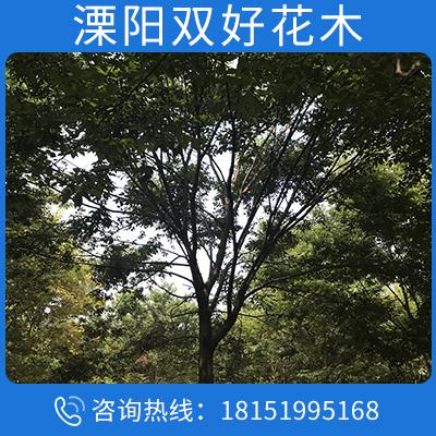 供應優質櫸樹 綠化苗木 紅櫸樹