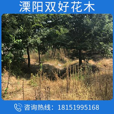 耐寒耐旱櫸樹 綠化苗 櫸樹銷售