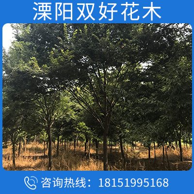 批發櫸樹 紅櫸樹 櫸樹小苗價格