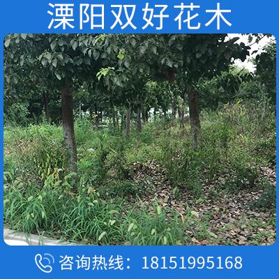 苗圃直銷櫸樹 櫸樹化苗木