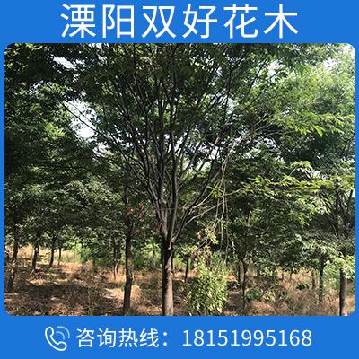苗圃基地售 櫸樹 冠幅飽滿