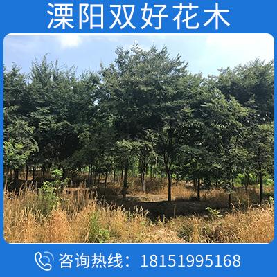 批發苗圃優質櫸樹樹苗 規格齊全 量大優惠