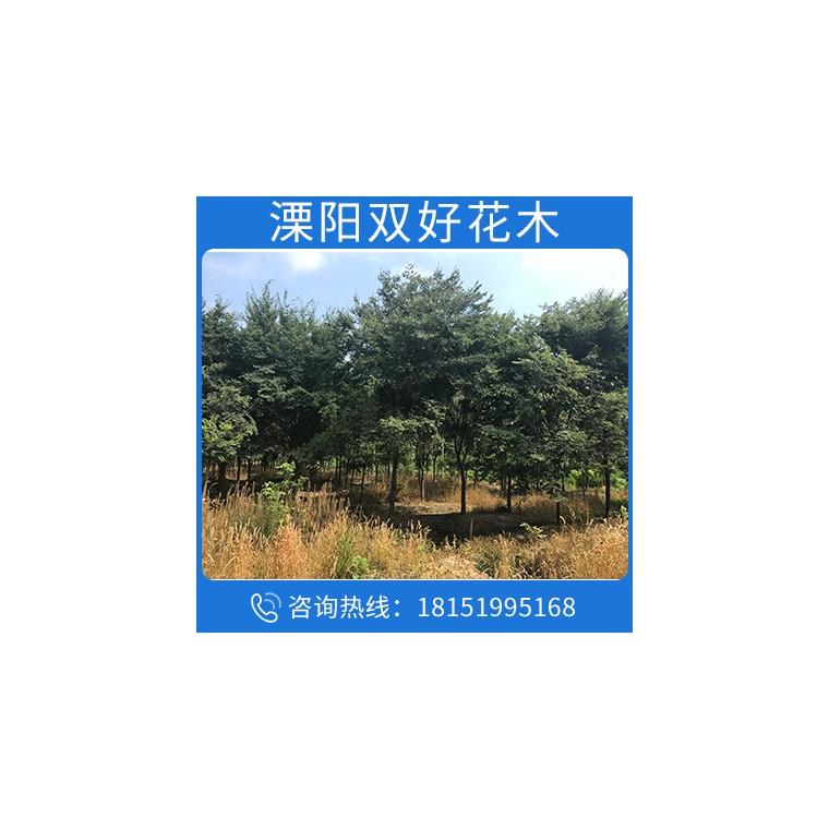 苗木公司批發苗圃優質櫸樹樹苗