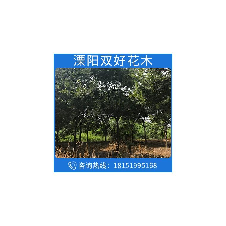 櫸樹苗規格齊全櫸樹庭蔭街道防護樹