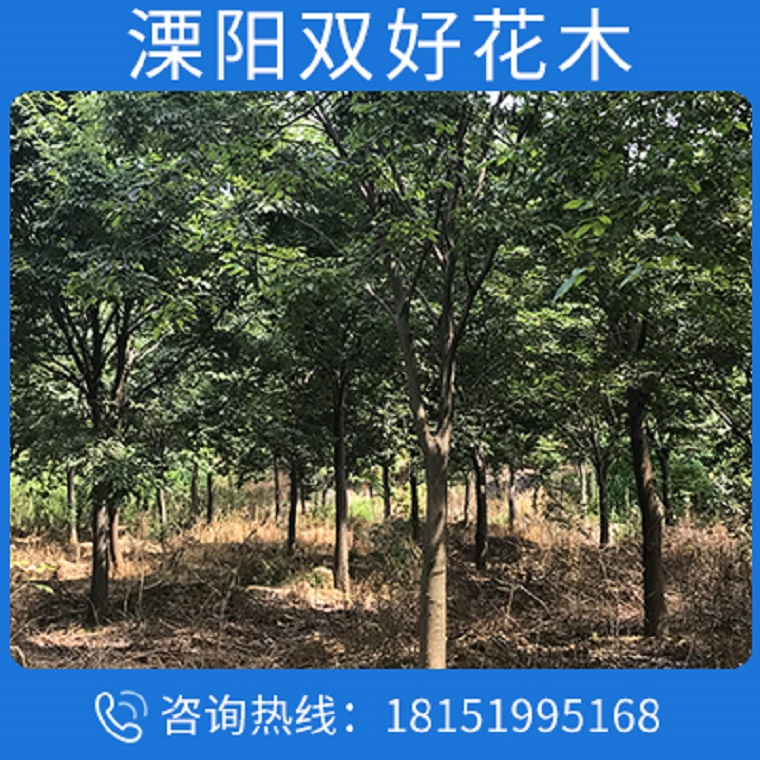 優質紅櫸樹苗 街道庭陰風景樹大葉櫸 櫸樹價格