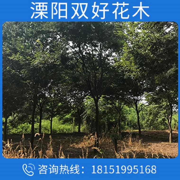 苗圃直銷櫸樹苗 櫸樹小苗 大規格櫸樹 低價批發