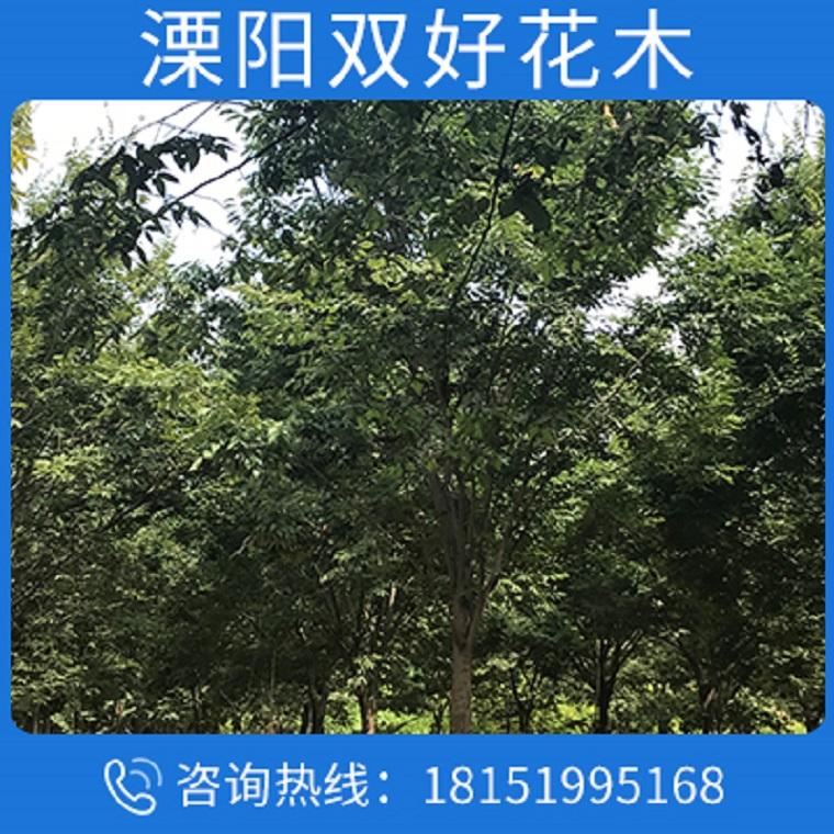苗木公司批发苗圃优质榉树树苗