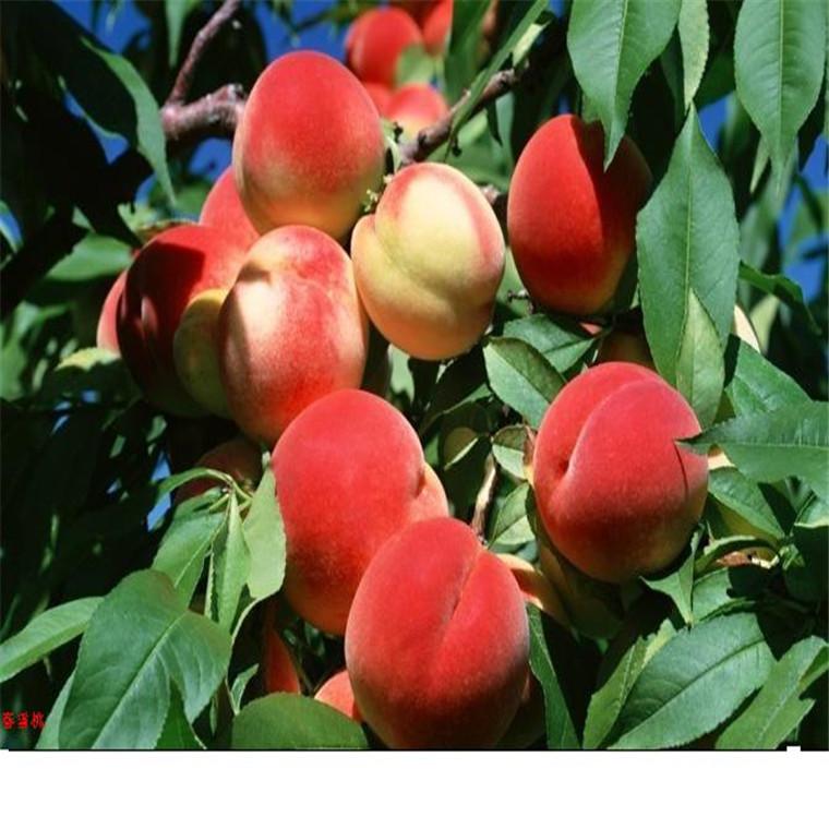桃樹苗價格