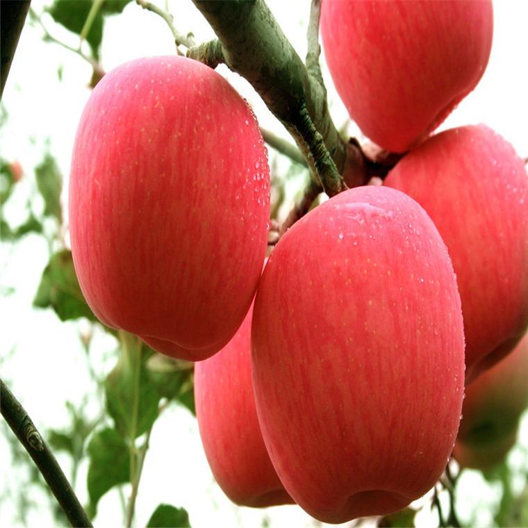 蘋果苗基地