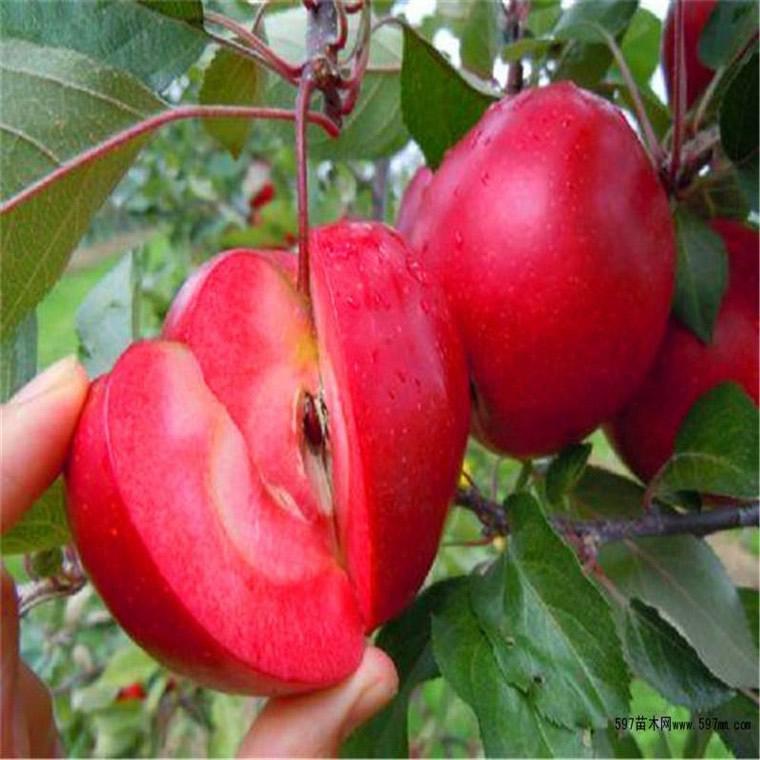蘋果苗批發