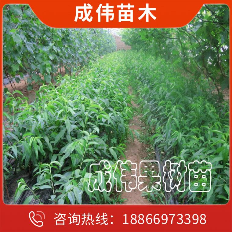 優質樹苗生產廠家