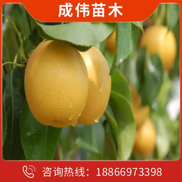 梨樹苗廠家