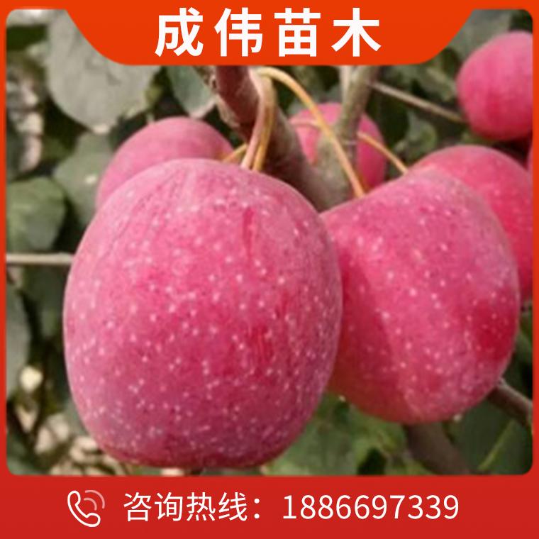 梨樹苗價格