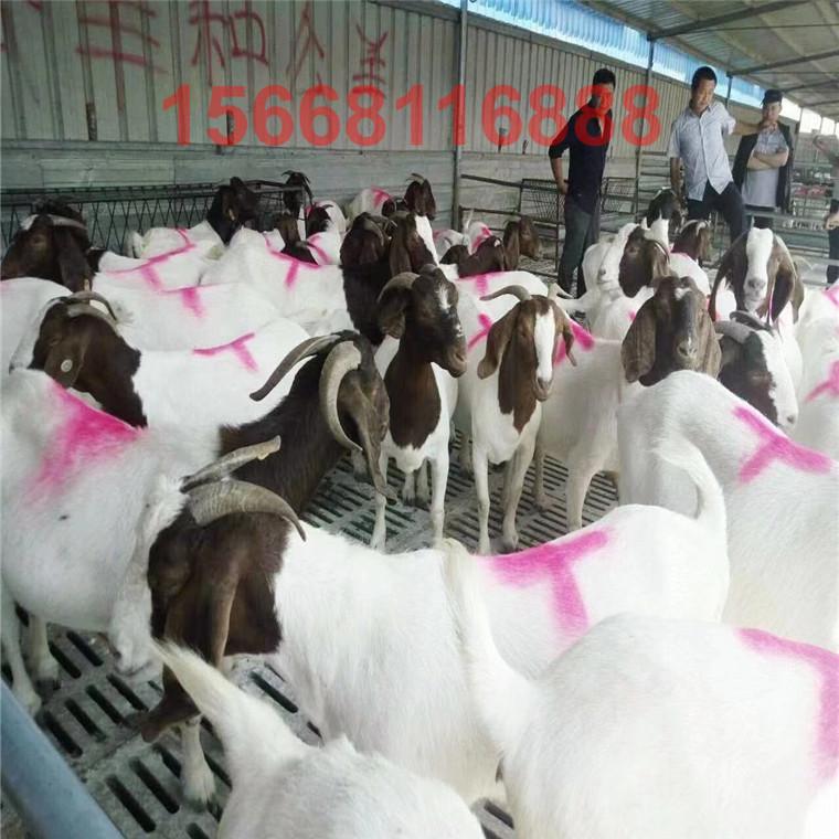 波爾山羊養殖基地