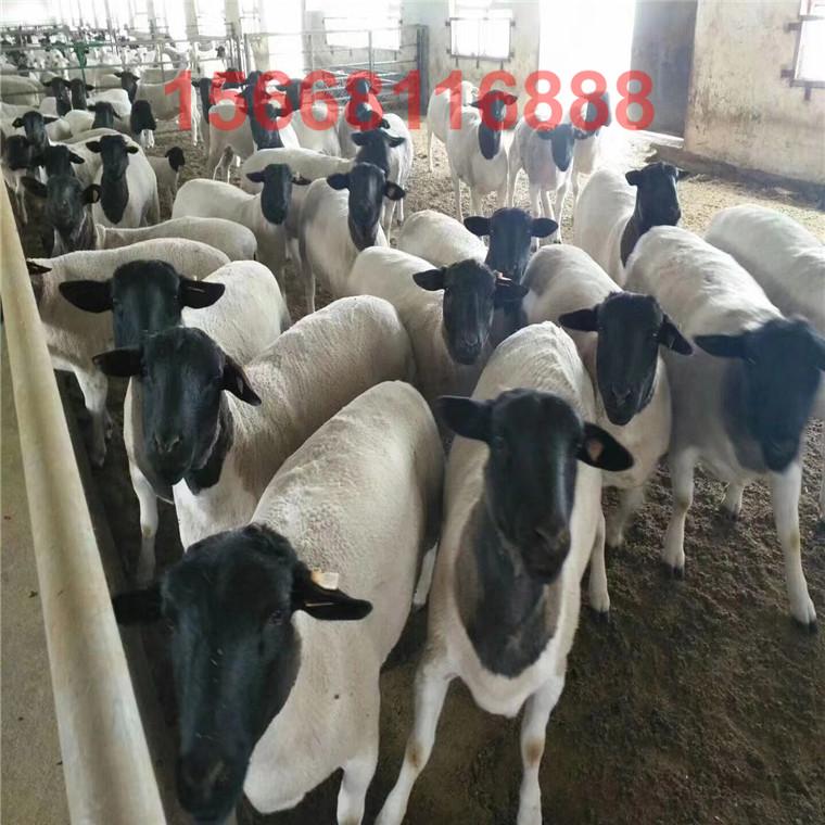 杜泊羊養殖場