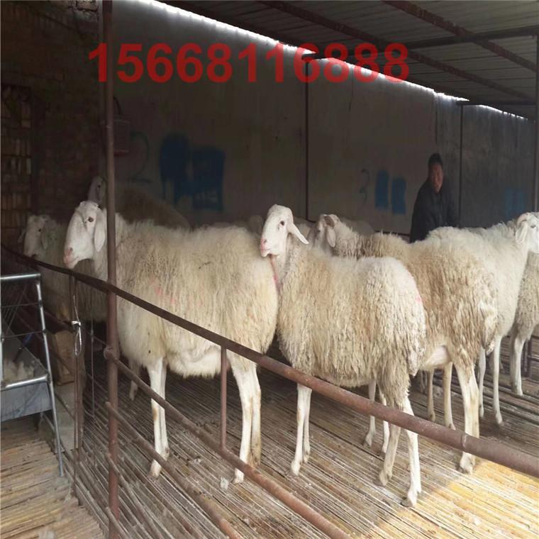 小尾寒羊養殖