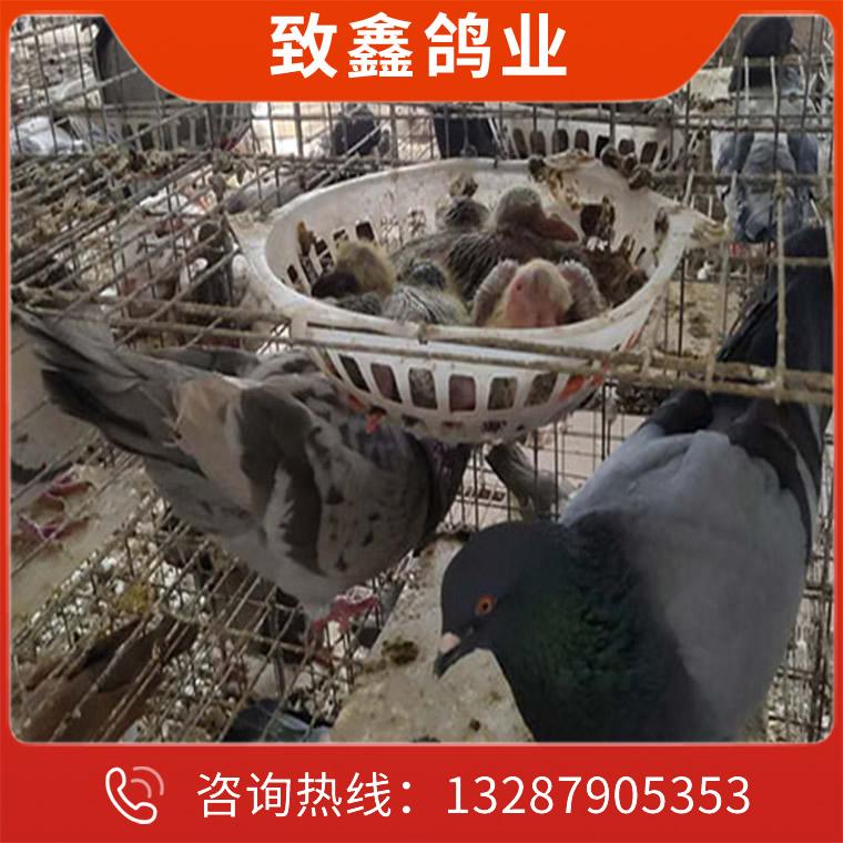 灰王種鴿養殖場