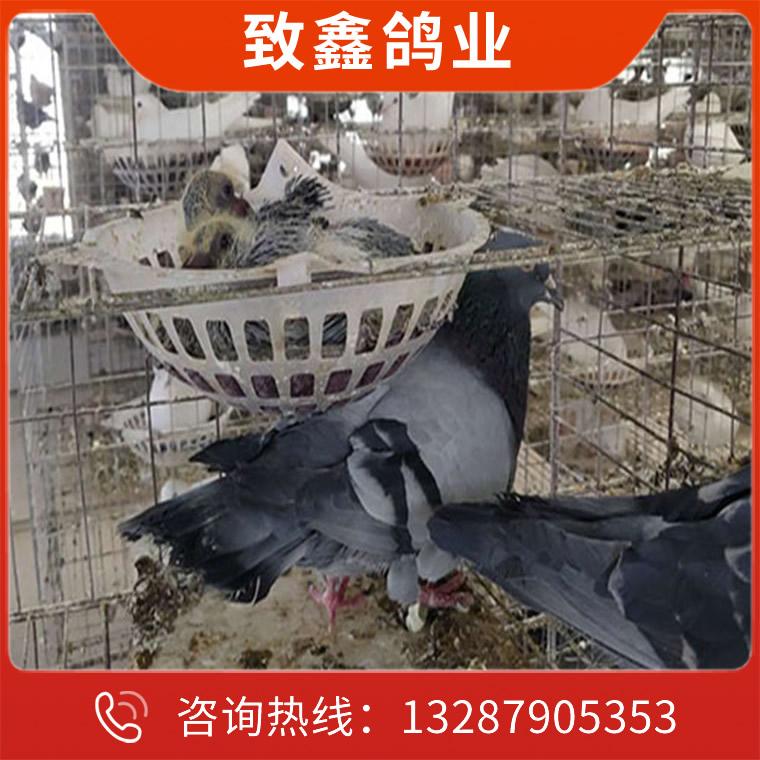 灰王種鴿價格