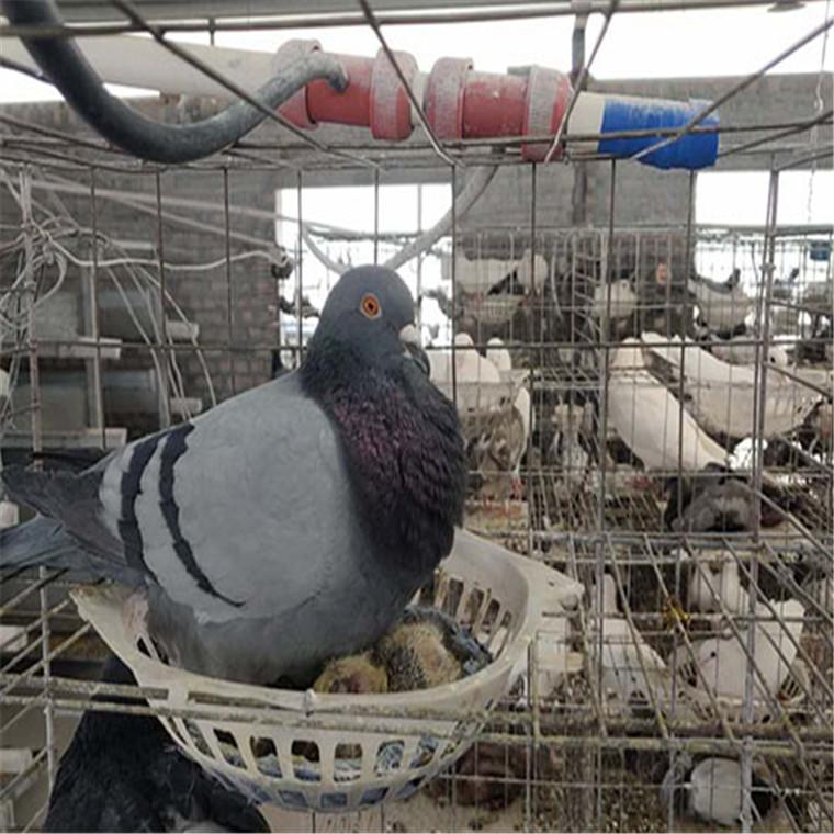灰王種鴿出售