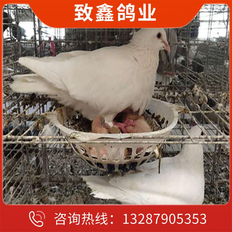 白羽王種鴿