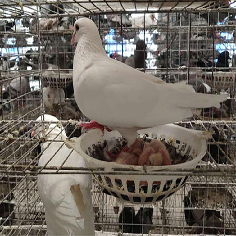 白羽王種鴿批發