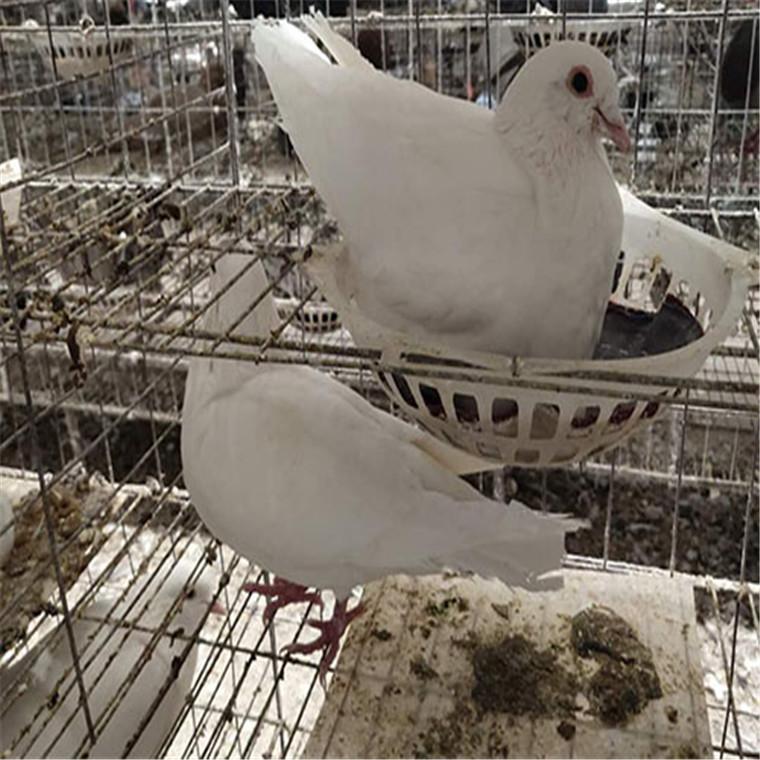 供應白羽王種鴿