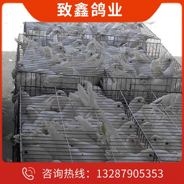 種鴿養殖廠家