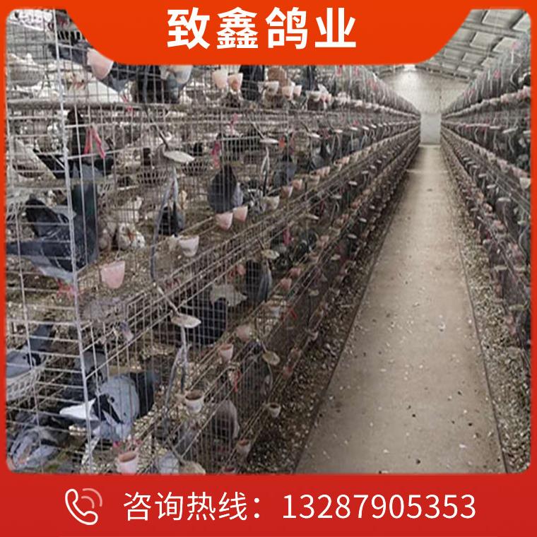 種鴿養殖價格