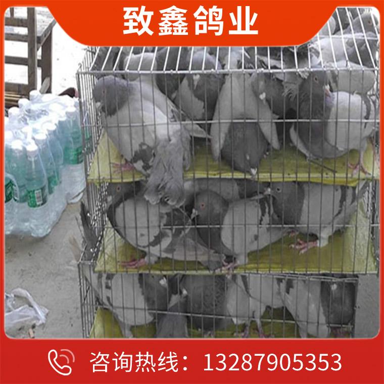 致鑫-種鴿養殖