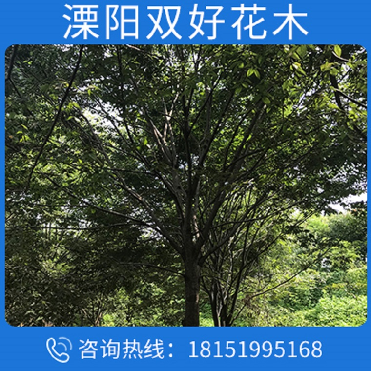 批发工程绿化苗木榉树