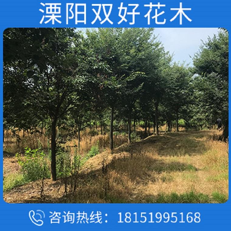 批发苗圃优质榉树树苗