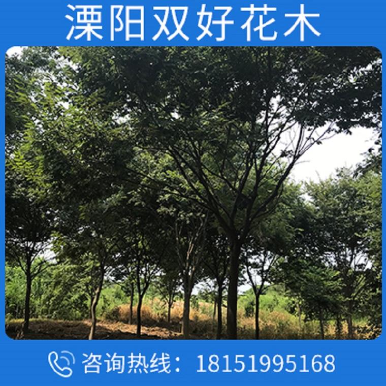 榉树苗圃防护树品种齐全量大优惠