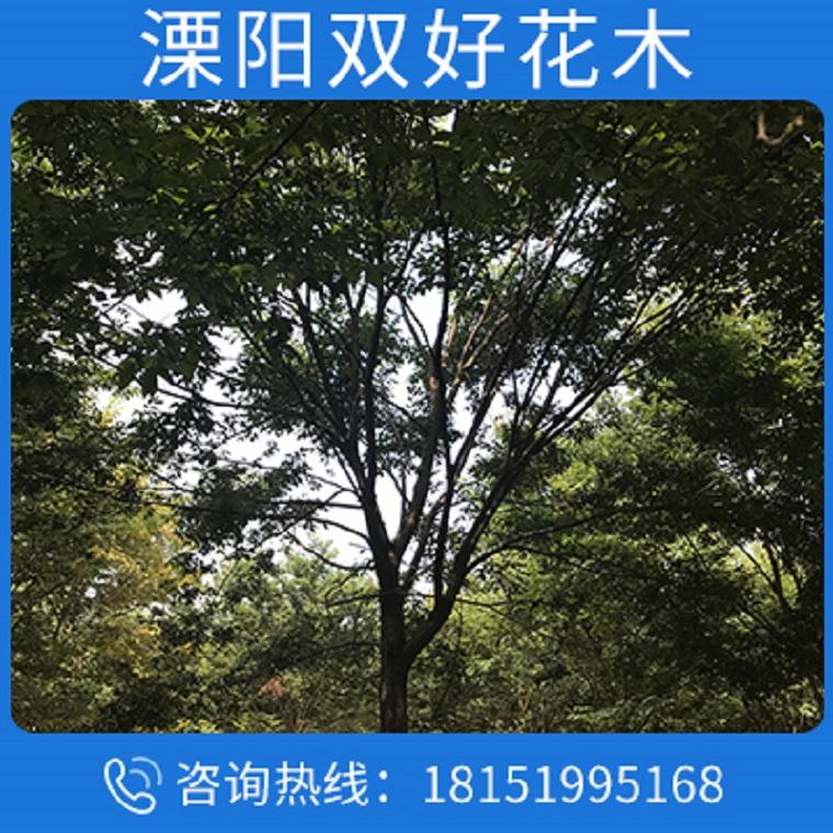 苗圃直销榉树苗 榉树苗圃 大规格榉树 低价批发