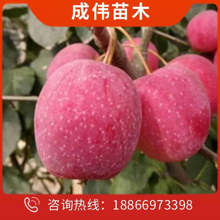 苹果树苗厂家