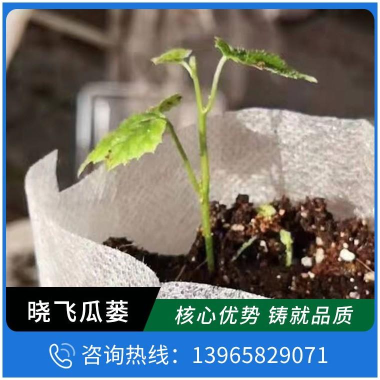滿園春瓜蔞種植基地