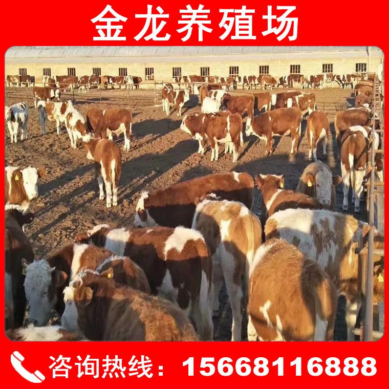 西門塔爾肉牛價格