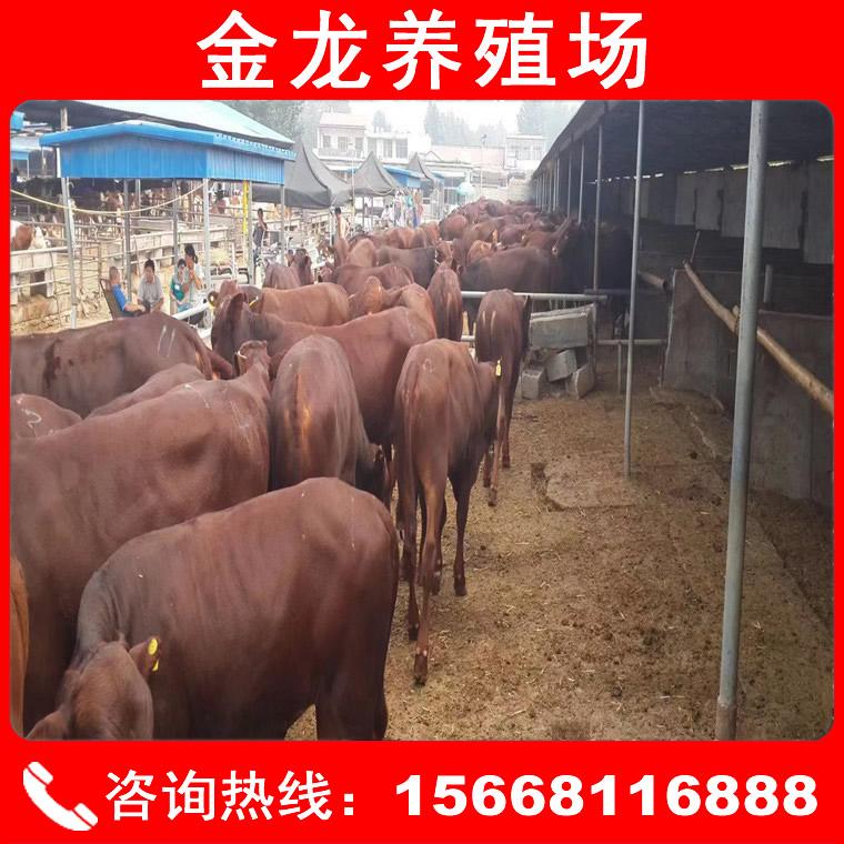 肉牛犢價格