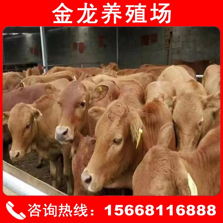 魯西黃牛價格