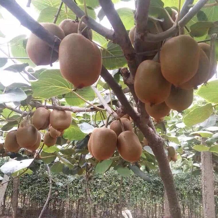 獼猴桃鮮果