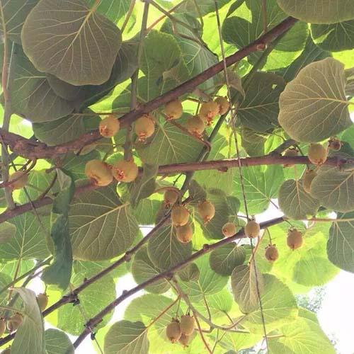 伊濱區獼猴桃樹苗
