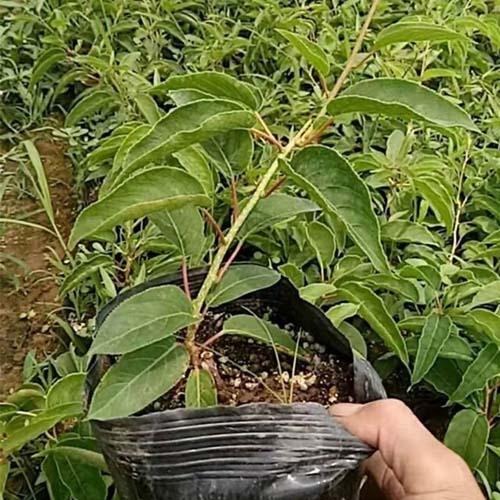 洛陽黃心獼猴桃