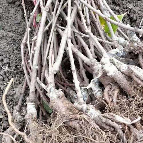洛龍區獼猴桃種子