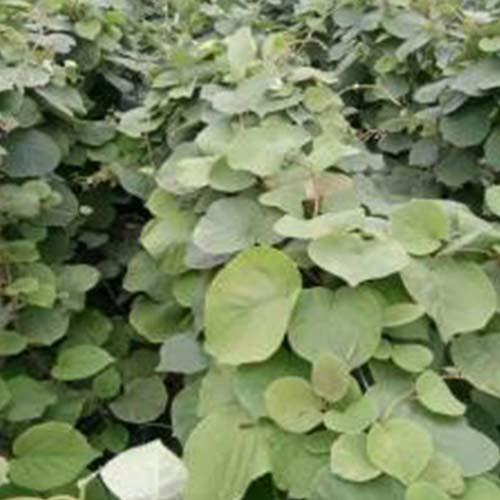 洛陽獼猴桃種子
