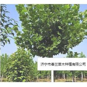 濟寧市春蘭苗木種植有限公司