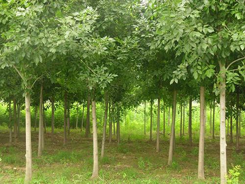 四川北美海棠種植
