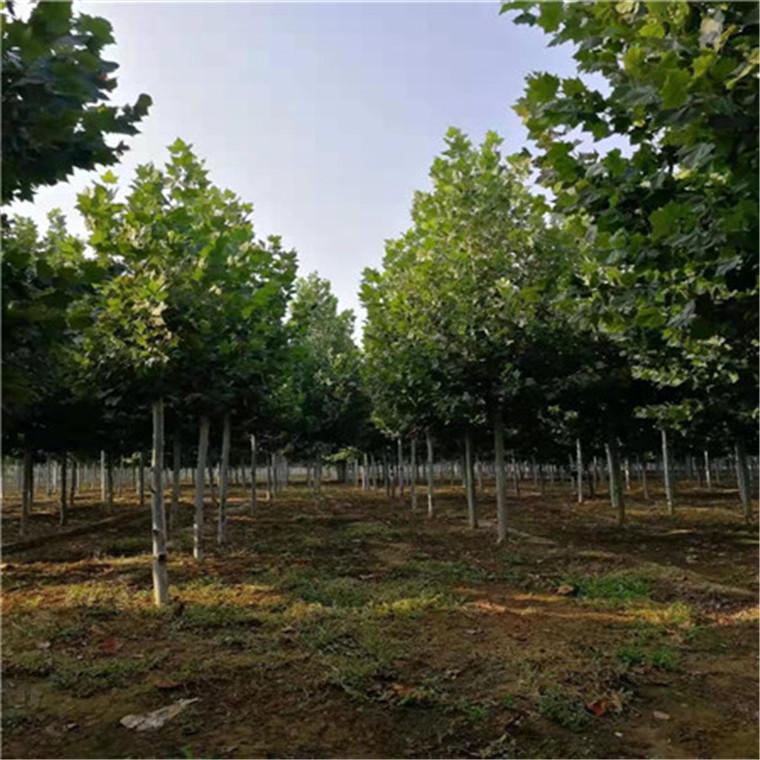 法桐-春蘭苗木
