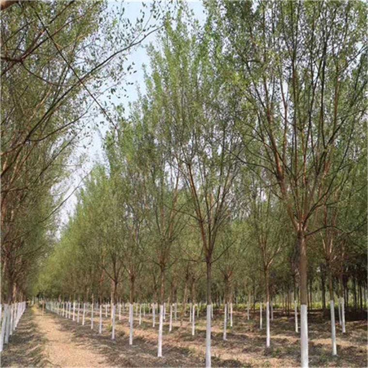 國槐樹 -春蘭苗木