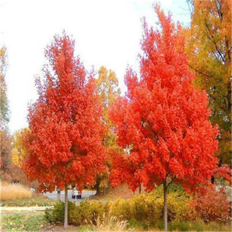 美國紅楓樹苗